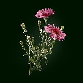 Asteraceae active ingredient | René Furterer