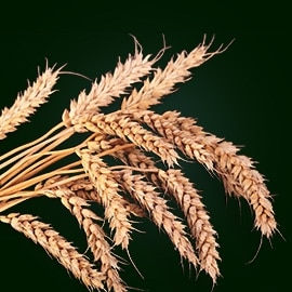 Wheat active ingredient | René Furterer