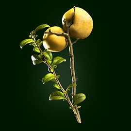 Quince active ingredient | René Furterer