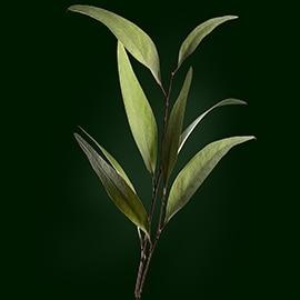 Principio attivo di eucalipto | René Furterer